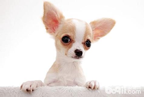 适合家养的小型犬有哪些?家庭养什么小型犬最好?-狗狗品种