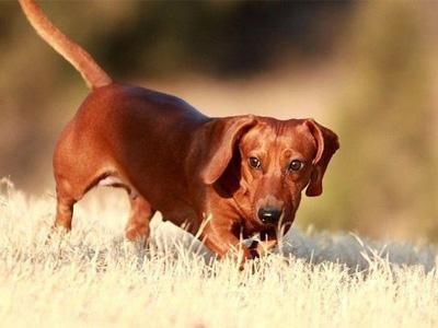 腊肠犬应该如何选购?腊肠犬的饲养方法